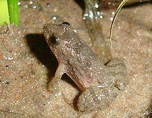 Swamp Frog. Photo from: https://en.wikipedia.org/wiki/Pseudopaludicola
